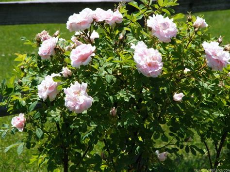 What Is My Gardening Zone - martin frobisher rose photo