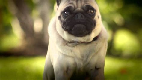 pug advert doritos pug attack ad pug