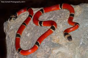 coral snake colors mu warning colors part 2 evolutionary explanations