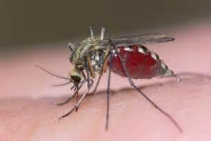 mosquitos curiosidades de uno de los animales que m 225 s