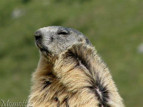 groundhog day brookfield zoo groundhog wallpaper wallpapersafari