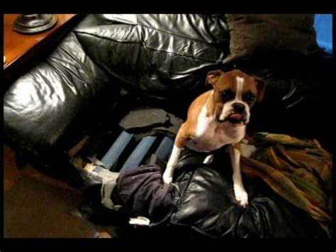 dog eating couch boxer dog the couch eater youtube