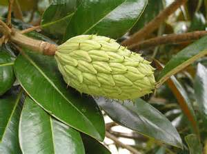 magnolia tree seeds pods images