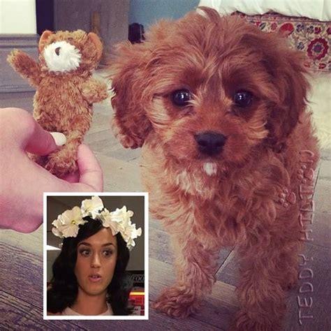 katy perry puppy katy perry got a new puppy meet butters teddyhilton