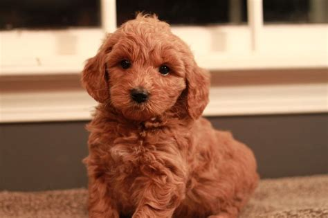 goldendoodle puppy rescue ny 17 best ideas about goldendoodle breeders on