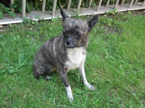 chipit puppies for sale brindle chihuahua breed information breeds picture