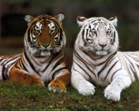 black friday amazon fire hd prolonging me time to speak up white bengal tigers