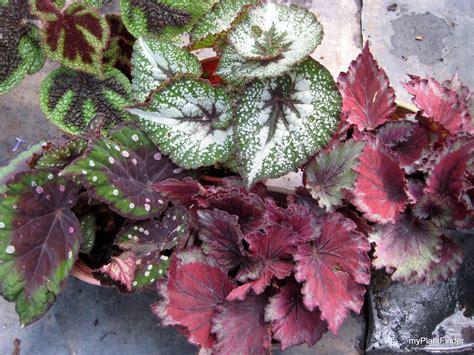 top 28 begonia rex care indoor are na 45 best begonia images on pinterest plants indoor