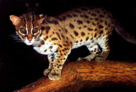 Sepasang Baby Blacan Kucing Hutan file blacan indonesia jpg wikimedia commons