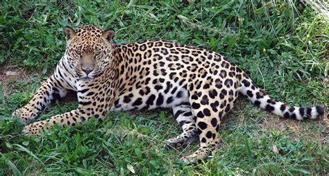 imagenes jaguar felino parque de cab 225 rceno portal fuenterrebollo