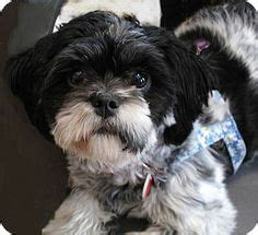 shih tzu bichon mix rescue 1000 images about adorable dogs for adoption on cockapoo shih tzu