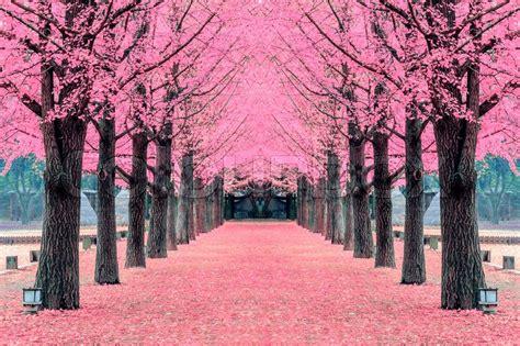 Korea Pink pink tree nami island in korea stock photo colourbox