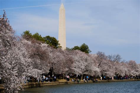 cherry tree 10 miler results cherry blossom ten mile run to cause crowds road closures wtop