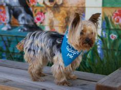 taunton yorkie rescue rescue me on maltese dogs chihuahua dogs and maltese