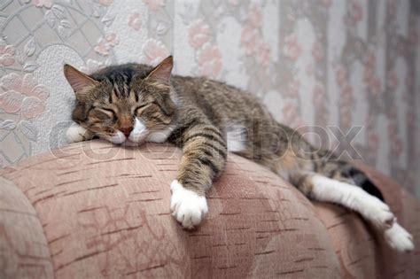 cat in couch cat sleeping by sofa kuzia senior cat 12 y o stock