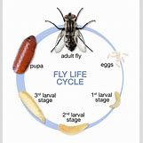 Fruit Fly Life Cycle Stages | 765 x 801 jpeg 85kB