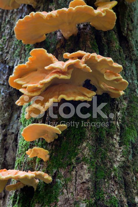 sulphur shelf fungi stock photos freeimages