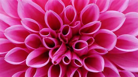 wallpaper flower pink  nature