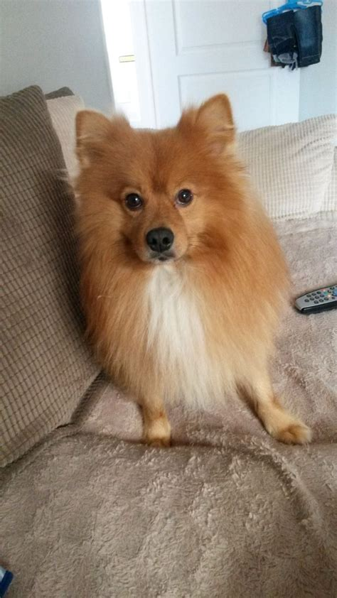 pomeranian spitz for sale beautiful pom spitz for sale to lovong home grimsby lincolnshire pets4homes