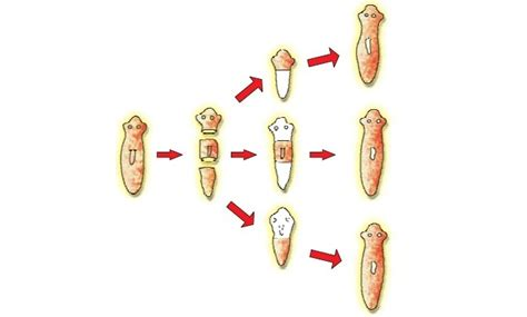 regeneration and pattern formation in planarians iii regeneration in planaria and budding in hydra explain