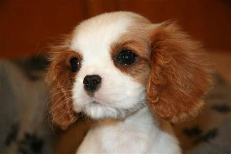 cavalier puppies for adoption blenheim cavalier king charles spaniel puppies animals adoption