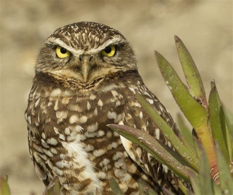 owls san diego bird spot
