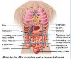 Identify organs in the 9 abdominopelvic regions