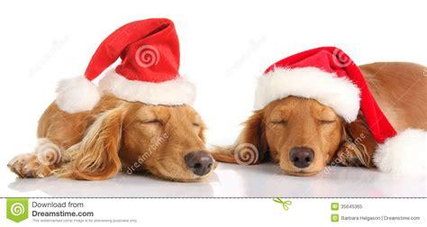 golden retriever puppies santa barbara sleepy santa dogs royalty free stock photo image 35645365