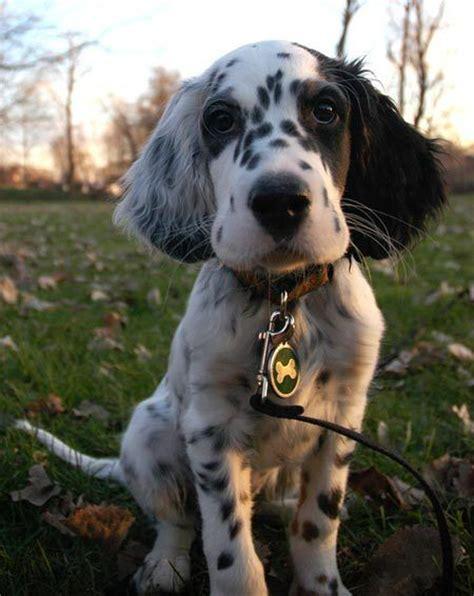 setter dog black 79 best english setter love images on pinterest english