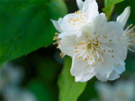 jasmine  popular evergreen flowers