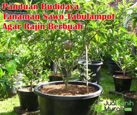 20 Tanaman Buah Dalam Pot Rajin Berbuah 4 panduan tepat budidaya tanaman buah sawo didalam pot tabulot agar rajin berbuah sepanjang