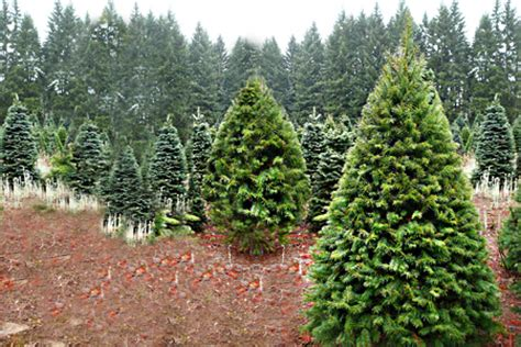 lodgepole pine christmas tree fife christmas trees groupon