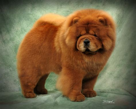 chow chow a surprise from mr zin orange angels chows