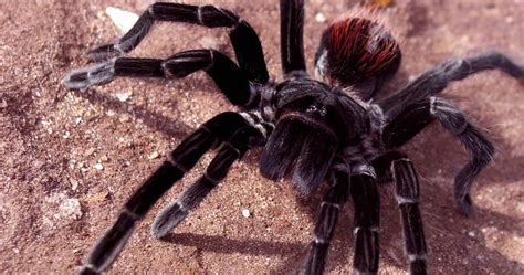 tarantula wallpapers fun animals wiki videos pictures