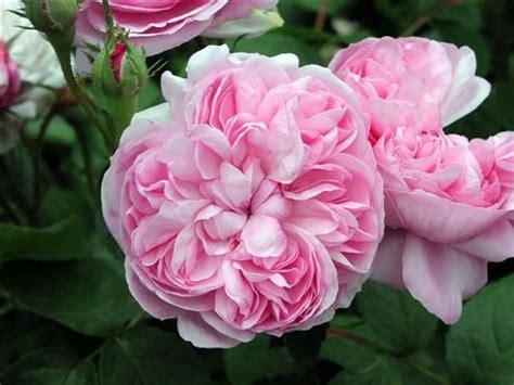""" sidonie "" hybrid perpetual rose pink strong"