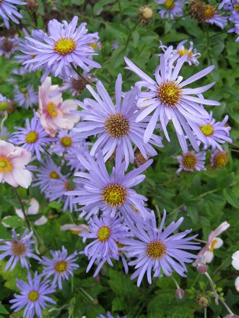 aster fiori settembrini aster frikartii aster frikartii perenni