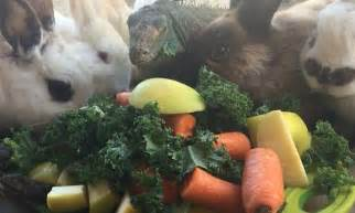 vegetables for rabbits rabbits iguana and tortoise eat plate of veg together