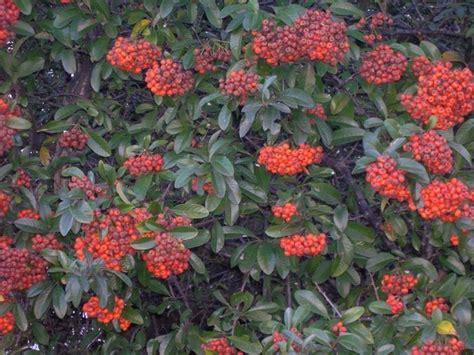 arbusti sempreverdi da giardino arbusti sempreverdi piante perenni piante arbusti