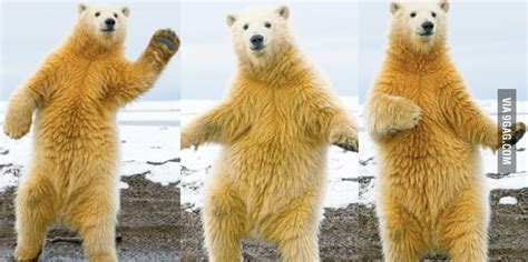 Dancing Polar Bear Meme - animal memes polar bear hello funnymeme memes
