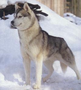le huskie sibérien