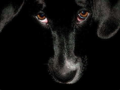 black dog unique animals blogs black dog wallpapers for desktop