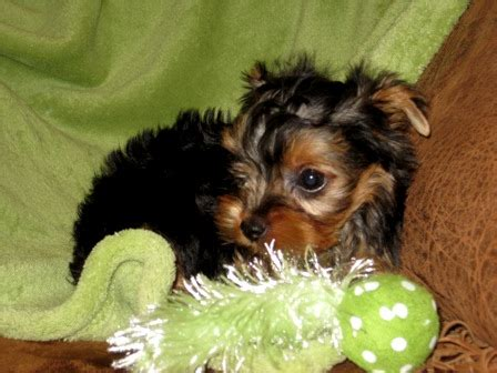 yorkies for sale in killeen tx terrier puppies for sale teacup yorkie puppies