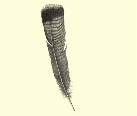 Turkey Feather turkey feathers drawing