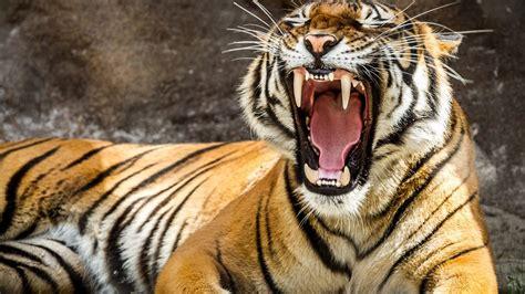 imagenes tumblr de tigres tigre rugiendo y sus colmillos im 225 genes y fotos