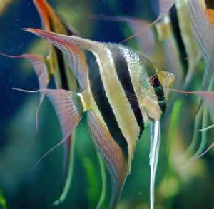 Aquarium Fish Species by Common Name