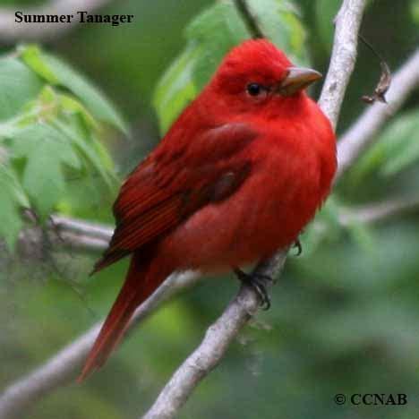 red birds | birds by colour | north american birds | birds