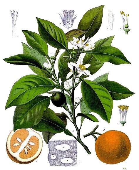 fior d arancio pianta arancio pianta