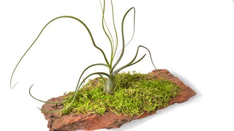 air plant care for your wabimoss piece wabimoss
