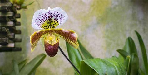 orchidee in casa 5 consigli per coltivare le orchidee in casa