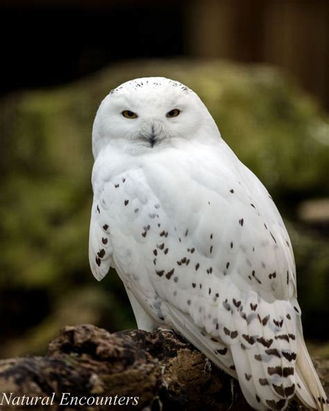 amazoncom snowy owl encounters photography by ben williams snowny owl